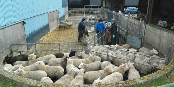 Assemble The Sheep Into a Pen