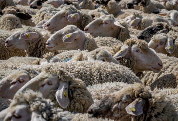 How Often Do Sheep Get Shear
