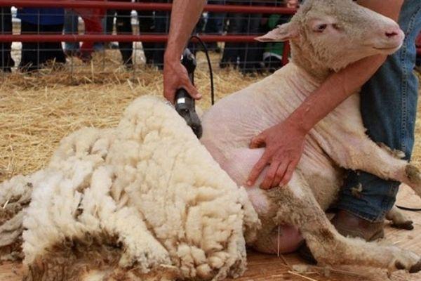 Benefits of Using Electric Sheep Shears