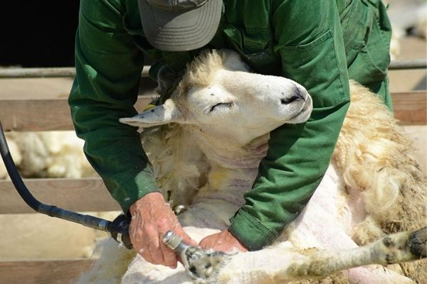 How To Shear A Sheep With Electric Shears [Properly Sheer a Sheep]