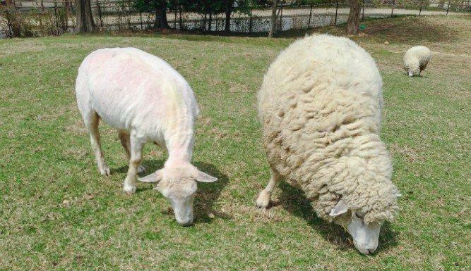 before sheep shearing